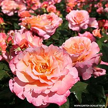 Edelrose Augusta Luise in champagner-rosé bis