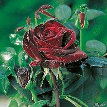 Edelrose Barkarole in Dunkel-Rot - Duftrose winterhart - Rosen-Blüte in Samt-Rot -Rose stark duftend im 5 Liter Container von Garten Schlüter - Pflanzen in Top Qualitä