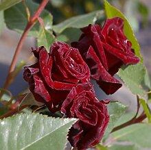 Edelrose Black Baccara® - Rosa Black Baccara® -