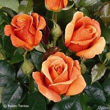 Edelrose Cherry Brandy in Kupfer-Apricot - Duftrose mittel-stark duftend - Rose im 5 Liter Container von Garten Schlüter - Pflanzen in Top Qualitä