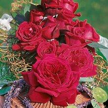 Edelrose Duftfestival in Dunkel-Rot - Duftrose winterhart & stark duftend - Rose stark gefüllt - Pflanze im 5 Liter Container von Garten Schlüter - Pflanzen in Top Qualitä