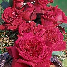 Edelrose Duftfestival in Dunkel-Rot - Duftrose winterhart & stark duftend - Rose stark gefüllt - Pflanze, wurzelnackt /Wurzelware von Garten Schlüter - Pflanzen in Top Qualitä