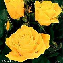 Edelrose Duftgold in Gelb - Duftrose robust - Rose stark duftend - Pflanze mit intensivem Duft im 5 Liter Container von Garten Schlüter - Pflanzen in Top Qualitä