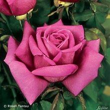 Edelrose Duftrausch in Rosa - Duftrose robust, pink-violett - Rose stark duftend - Pflanze im 5 Liter Container von Garten Schlüter - Pflanzen in Top Qualitä