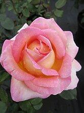 Edelrose Elle® - Rosa Elle® - Teehybride -
