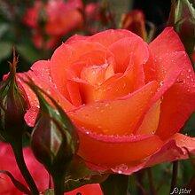 Edelrose Fairest Cape in orange / gelb/ apricot - Duftrose - Rose stark duftend - Prämierte Pflanze im 5 Liter Container von Garten Schlüter - Pflanzen in Top Qualitä