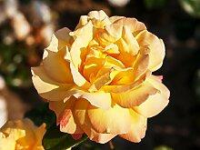 Edelrose Gloria-Dei - Wurzelware, Qualität A -
