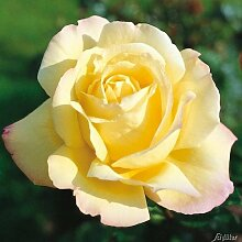 Edelrose Gloria Die in lichtgelb mit rosa Rand -
