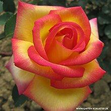Edelrose Jean Piat in mehrfarbig - Duftrose