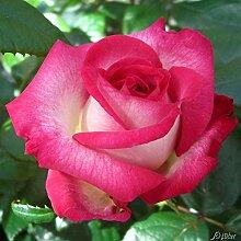 Edelrose Julia in Rosa & Weiß - Duftrose winterhart - Rose leicht duftend - Zweifarbige Pflanze im 5 Liter Container von Garten Schlüter - Pflanzen in Top Qualitä