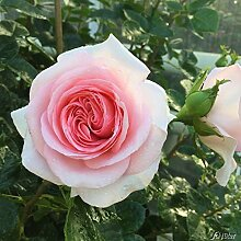 Edelrose La Fontaine Aux Perles in rosa - Duftrose