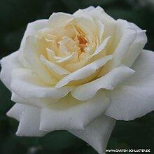 Edelrose La Perla in cremeweiß - Duftrose