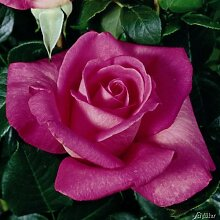 Edelrose Lady Like in Rosa - Duftrose winterhart &