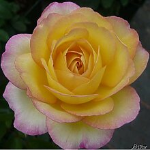 Edelrose Mitsouko in gelb-rosa - Duftrose