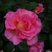 Edelrose Pink Paradise in leuchtend rosa-gelb -