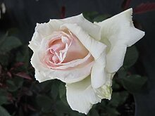 Edelrose Poker® - Rosa Poker® - Teehybride &