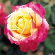 Edelrose Pullmann Orient Express in Rosa & Gelb - Duftrose winterhart - Rose stark duftend - Pflanze im 5 Liter Container von Garten Schlüter - Pflanzen in Top Qualitä