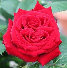Edelrose`Red Nostalgie®´