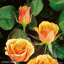 Edelrose Tea Time in Rot & Weiß - Rose leicht duftend - Mehrfarbige Duftrose, wurzelnackt /Wurzelware von Garten Schlüter - Pflanzen in Top Qualitä