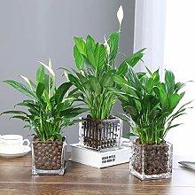 Eden-blumen 50/100 Stück Spathiphyllum Kochii