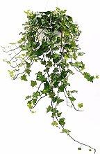 EDERA VARIEGATA XXL WEISS / GRÜN, Echte Pflanze