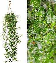 Efeu Hedera Hängeampel grün, Zimmerpflanze