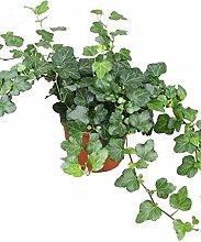 Efeu (Hedera helix), echte Pflanze, als