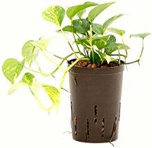 Efeutute, Epipremnum pinatum Aureum, Zimmerpflanze