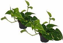 Efeutute, Scindapsus, (Epipremnum aureum) Sorte: