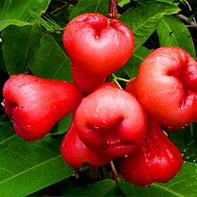 EgBert 100 Pcs/Pack Jambu Air Seeds Rose Wachs