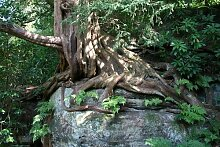 Eibe 20 Samen -Taxus baccata- (Heimischer Baum -