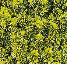 Eibe Germers Gold 60-70cm - Taxus baccata