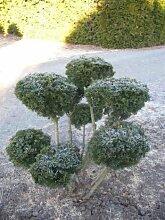 Eibe Groß Bonsai Taxus baccata mit Ballen 100 cm