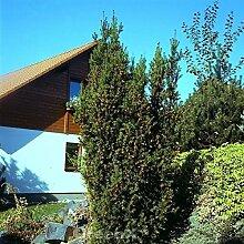 Eibe Hillii 30-40cm - Taxus media