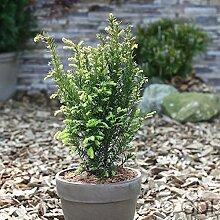 Eibe Kleiner Grüner® 20-25cm - Taxus baccata