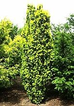 Eibe Säuleneibe Taxus baccata Fastigiata