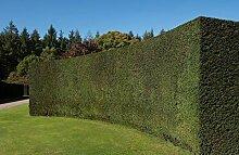 Eiben/Taxus Baccata 120-140cm
