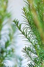 Eiben/Taxus Media Hicksii 160-180cm