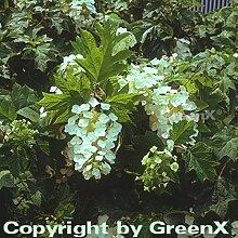 Eichenblättrige Hortensie 100-125cm - Hydrangea