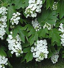 Eichenblättrige Hortensie Black Porch 40-60cm -