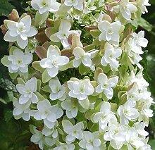 Eichenblättrige Hortensie Harmony 40-60cm -