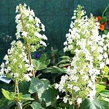 Eichenblättrige Hortensie Hydrangea 40/60 7,5 L