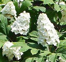 Eichenblättrige Hortensie Snow Queen 40-60cm -