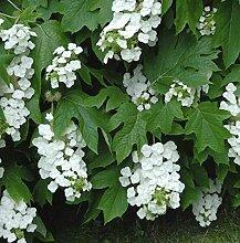 Eichenblättrige Hortensie Snowflake 30-40cm -