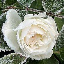 Ein gemeinsamer Garten mit weißen Rosen 150 Samen