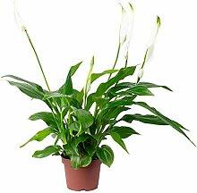 Einblatt 2-4 Blüten/Knospen - Spathiphyllum -