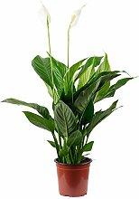 Einblatt 3-5 Blüten/Knospen - Spathiphyllum -