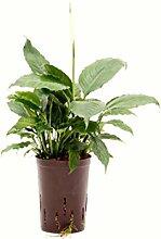 Einblatt, Spathiphyllum Hybriden White Queen,
