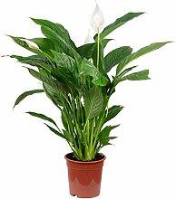 Einblatt - Spathiphyllum Lauretta - Höhe ca. 90