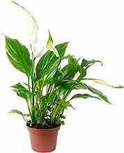 Einblatt weiß - Spathiphyllum Yess - Höhe ca. 15